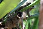 Common brown lemur (Eulemur fulvus) [madagascar_perinet_0091]