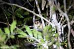 Goodman's mouse lemur (Microcebus lehilahytsara) [madagascar_perinet_0107]