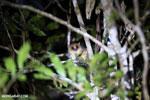 Goodman's mouse lemur (Microcebus lehilahytsara) [madagascar_perinet_0108]