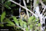 Goodman's mouse lemur (Microcebus lehilahytsara) [madagascar_perinet_0111]