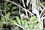 Goodman's mouse lemur (Microcebus lehilahytsara) [madagascar_perinet_0112]