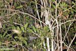 Goodman's mouse lemur (Microcebus lehilahytsara) [madagascar_perinet_0113]