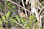 Goodman's mouse lemur (Microcebus lehilahytsara) [madagascar_perinet_0114]
