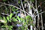Goodman's mouse lemur (Microcebus lehilahytsara) [madagascar_perinet_0115]