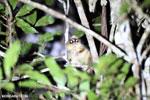 Goodman's mouse lemur (Microcebus lehilahytsara) [madagascar_perinet_0116]