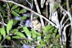 Goodman's mouse lemur (Microcebus lehilahytsara) [madagascar_perinet_0117]