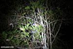 Goodman's mouse lemur (Microcebus lehilahytsara) [madagascar_perinet_0118]