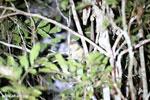 Goodman's mouse lemur (Microcebus lehilahytsara) [madagascar_perinet_0119]