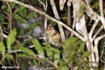 Goodman's mouse lemur (Microcebus lehilahytsara) [madagascar_perinet_0120]