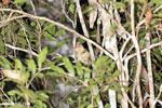 Goodman's mouse lemur (Microcebus lehilahytsara) [madagascar_perinet_0121]