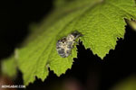 Mating beetles [madagascar_perinet_0123]