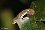 Nose-horned Chameleon (Calumma nasutum)