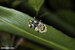 Yellow and blue weevil