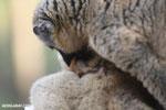 Baby common brown lemur nursing