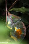 Parson's chameleon [madagascar_perinet_0166]
