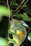 Parson's chameleon [madagascar_perinet_0169]