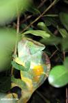 Parson's chameleon [madagascar_perinet_0171]