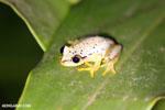Heterixalus punctatus tree frog
