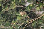 Goodman's mouse lemur (Microcebus lehilahytsara) [madagascar_perinet_0177]