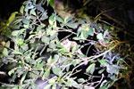 Goodman's mouse lemur (Microcebus lehilahytsara) [madagascar_perinet_0178]
