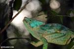 Parson's chameleon [madagascar_perinet_0196]
