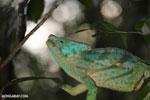 Parson's chameleon [madagascar_perinet_0197]