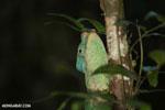Parson's chameleon [madagascar_perinet_0200]