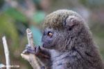 Eastern lesser bamboo lemur (Hapalemur griseus) [madagascar_perinet_0202]