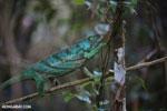 Parson's chameleon [madagascar_perinet_0203]