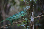 Parson's chameleon [madagascar_perinet_0204]