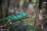 Parson's chameleon [madagascar_perinet_0206]