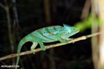 Parson's chameleon [madagascar_perinet_0207]