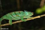 Parson's chameleon [madagascar_perinet_0208]