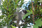 Common brown lemur (Eulemur fulvus) [madagascar_perinet_0215]