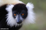 Black-and-white ruffed lemur (Varecia variegata) [madagascar_perinet_0216]