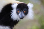Black-and-white ruffed lemur (Varecia variegata) [madagascar_perinet_0221]