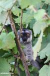 Common brown lemur (Eulemur fulvus) [madagascar_perinet_0222]