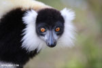 Black-and-white ruffed lemur (Varecia variegata) [madagascar_perinet_0224]
