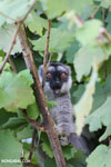 Common brown lemur (Eulemur fulvus) [madagascar_perinet_0226]