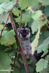 Common brown lemur (Eulemur fulvus) [madagascar_perinet_0227]