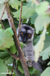 Common brown lemur (Eulemur fulvus)