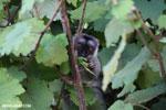 Common brown lemur (Eulemur fulvus) [madagascar_perinet_0236]