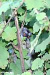 Common brown lemur (Eulemur fulvus) [madagascar_perinet_0239]
