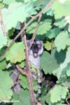 Common brown lemur (Eulemur fulvus) [madagascar_perinet_0241]