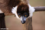 Black-and-white ruffed lemur (Varecia variegata) [madagascar_perinet_0242]