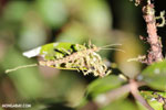 Mossy stick insect