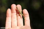 Mossy stick insect [madagascar_perinet_0318]
