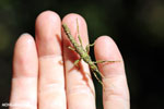 Mossy stick insect [madagascar_perinet_0320]