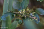 Mossy stick insect [madagascar_perinet_0330]