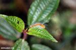 Orange caterpillar [madagascar_perinet_0358]